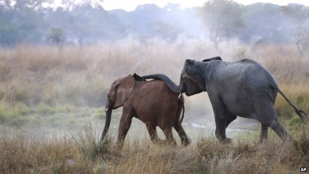 The report says elephants could face extinction if the current rate of poaching continues