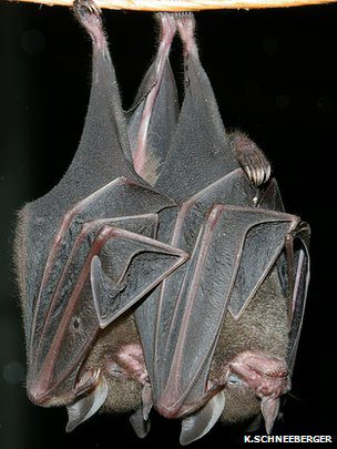 Fruit-eating bats play a vital role in helping nature reclaim abandoned agricultural land