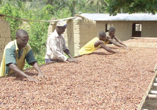 Unless something is done urgently to salvage cocoa production, the sector?s contribution to the economy will continue to dwindle. ?