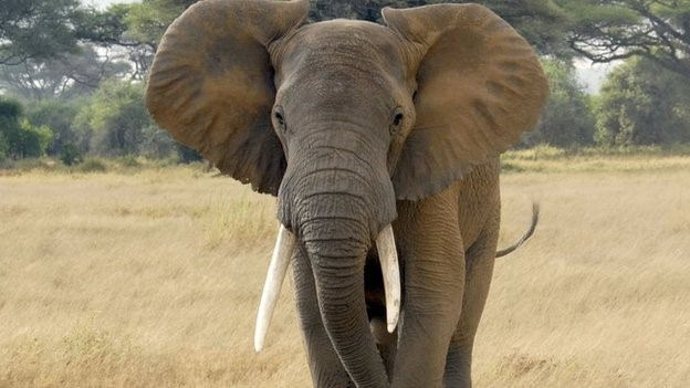 Elephant conservationists say demand for ivory remains high