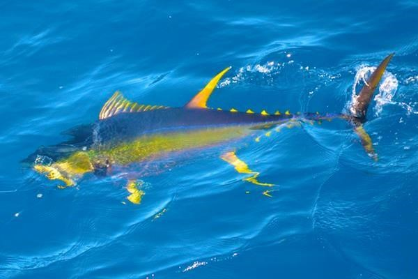 Yellowfin tuna are being caught far north of their typical range this season.?