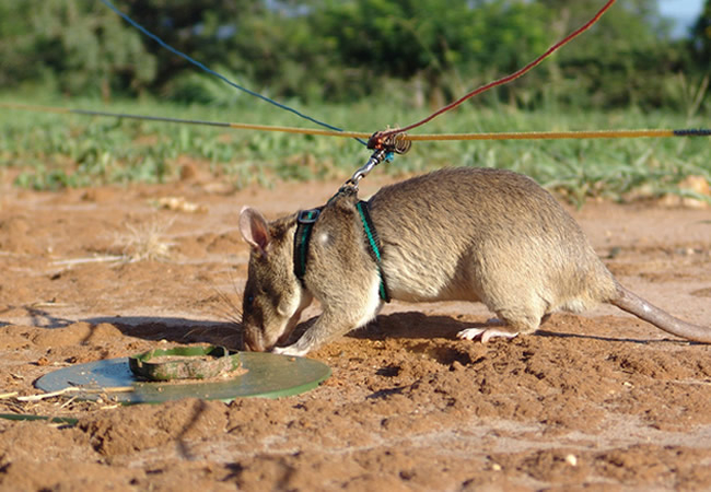 remote-controlled rats