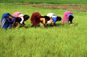 women-rice-farmers1