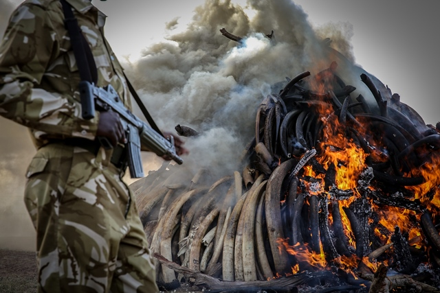 A Kenyan armed ranger stands guard at the site of burning contraband ivory in Nairobi March 3, 2015. (Xinhua/Pan Siwei)