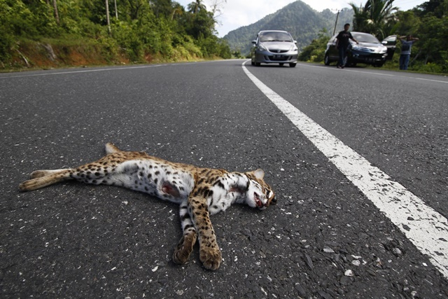 A dead clouded leopard, hit by a car, lays on a road in Lhoong district, Aceh, Indonesia, March 15, 2015. (Xinhua/Junaidi)