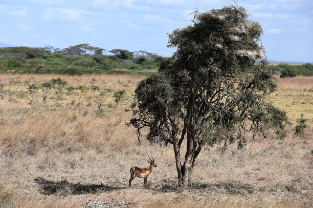 "An antelope is seen under a tree at Kenya's Nairobi National Park in Nairobi, Kenya, March 21, 2015. Kenya's ""long rains"" season which usually begins in March is unpunctual this year, making both the people and wild animals of this country longing for the coming rains. (Xinhua/Sun Ruibo)"