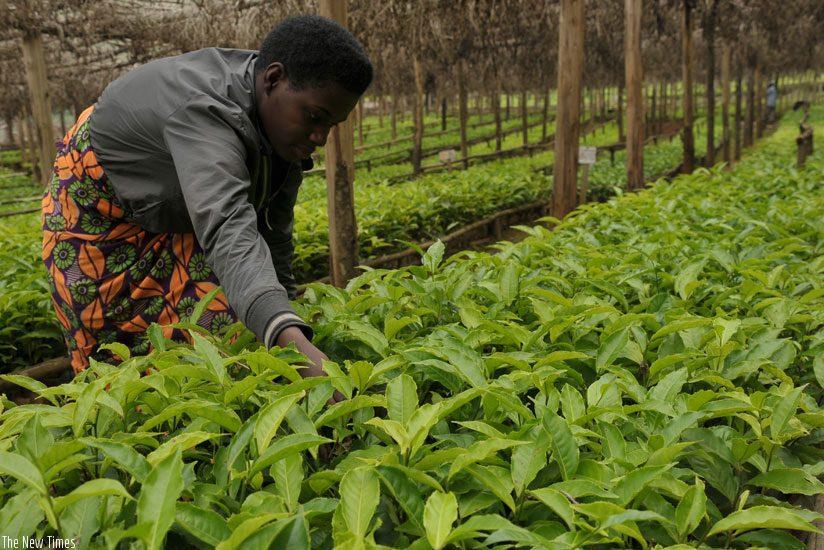 tea farmer