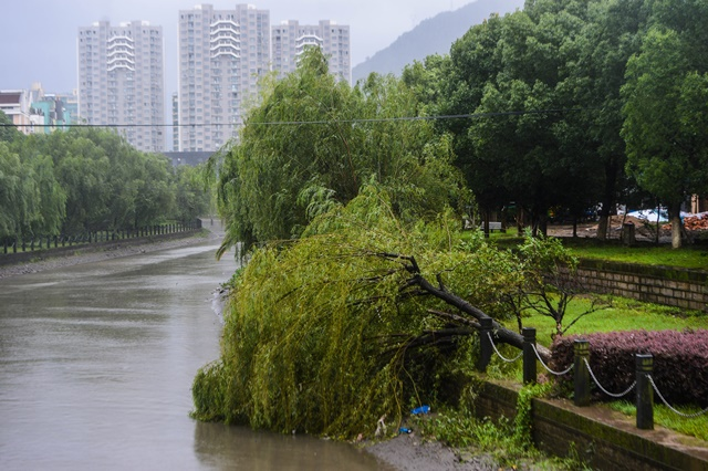 Photo taken on July 11, 2015 shows trees broken by heavy wind in Sanmen County of east China's Zhejiang Province. The approaching Typhoon Chan-Hom has brought gales and rainstorms to Zhejiang Province, east China, forcing hundreds of flights to be canceled and highways to be closed, local authorities said Saturday. (Xinhua/Xu Yu) (zwx)