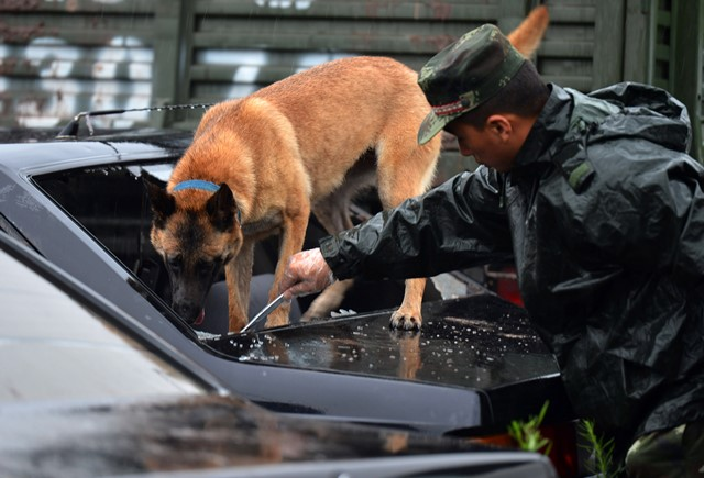 A police dog searches for explosives in a drill under guidance of a dog handler of the 7th detachment of the Armed Police Corps in Chongqing, southwest China, July 15, 2015. (Xinhua/Zhang Chunhua) (lfj)