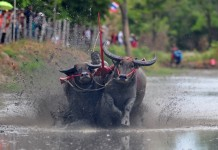 A Thai buffalo racer competes during an annual buffalo racing in Chonburi Province, Thailand, July 19, 2015. (Xinhua/Rachen Sageamsak)