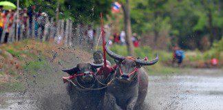 A Thai buffalo racer competes during an annual buffalo racing in Chonburi Province, Thailand, July 19, 2015. (Xinhua/Rachen Sageamsak)