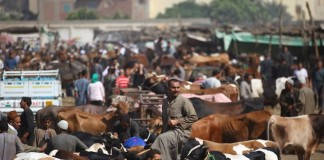 Sacrificial animals are seen at a livestock market set for the upcoming Muslim sacrificial festival Eid al-Adha, 60 km north of Cairo, Egypt, on Sept. 19, 2015. Muslims across the world are preparing to celebrate the annual festival of Eid al-Adha, or the Festival of Sacrifice, which marks the end of the Hajj pilgrimage to Mecca and in commemoration of Prophet Abraham's readiness to sacrifice his son to show obedience to God. (Xinhua/Ahmed Gomaa)