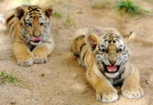 Two manchurian tiger cubs frolic at Qingdao Forest Wildlife World in Qingdao, east China's Shandong Province, Sept. 26, 2015. Seven manchurian tiger cubs and four African lion cubs here, all of which are three months old, met with the press recently. (Xinhua/Yu Fangping) (lfj)