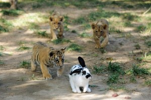 Tiger and lion cubs chase a rabbit at Qingdao Forest Wildlife World in Qingdao, east China's Shandong Province, Sept. 26, 2015. Seven manchurian tiger cubs and four African lion cubs, all of which are three months old, met with the press recently. (Xinhua/Yu Fangping) (lfj)
