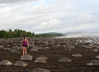 Image taken on Nov. 7, 2015 shows a girl watching Lora sea turtles arriving to lay their eggs on Ostional Beach, 295km northwest of San Jose, capital of Costa Rica. Over 250,000 Olive Ridley sea turtles came ashore on Nov. 9 morning to nest at Ostional Beach on Costa Rica´s coast. (Xinhua/Kent Gilbert)