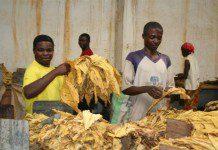 Zambia tobacco grading