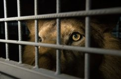 AFP An African lion in a cage arrives at the OR Tambo International Airport on April 30, 2016 in Johannesburg, South Africa