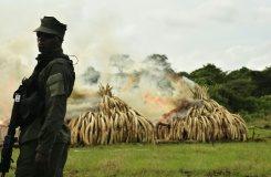 AFP / Carl De Souza A ranger stands in front of burning ivory stacks at the Nairobi National Park on April 30, 2016