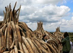 Stockpiles of elephant tusks are stacked up onto pyres at Nairobi's national park waiting to be burned along with more than a tonne of rhino-horn at what is said to be the biggest stockpile destruction in history