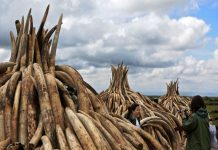 Illegal stockpiles of elephant tusks are stacked up onto pyres at Nairobi's national park, waiting to be burned at what is said to be the biggest stockpile destruction in history (AFP Photo/Tony Karumba)