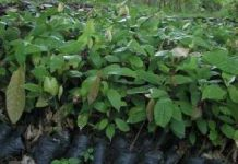 cocoa-seedlings