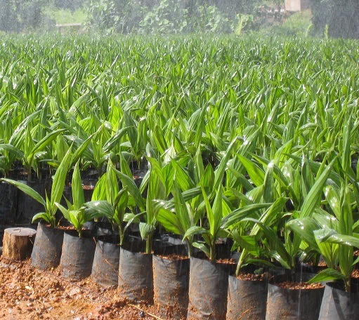 """hybrid oil palm Supergene high yield hybrid oil palm """"probably the best oil palm in the world""""  about us max palm cultivation sdn bhd , officially incorporated in december."""