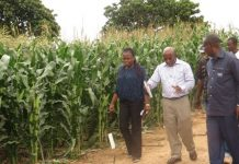 varieties of maize