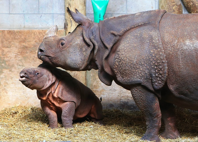 A two months old male Indian rhino calf (L) stays with his mother Ashakiran during Mother's Day at the Toronto Zoo in Toronto, Canada, May 8, 2016. (Xinhua/Zou Zheng) (zw)