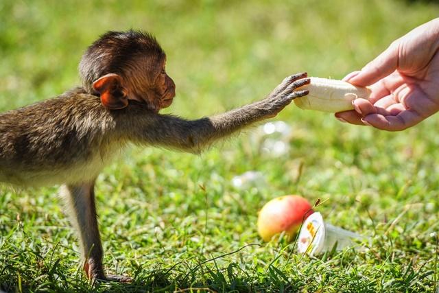 A baby crab-eating macaque takes a peeled banana from a tourist at the Phra Prang Sam Yot shrine in Lopburi, central Thailand, Nov. 27, 2016. (Xinhua/Li Mangmang) (zw)