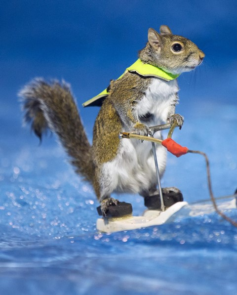 Twiggy the Waterskiing Squirrel performs during the 2016 Toronto International Boat Show at Exhibition Place in Toronto, Canada, Jan. 8, 2016. (Xinhua/Zou Zheng) (zw)