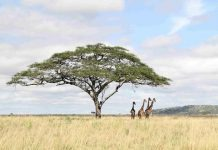 Photo taken on April 11, 2016 shows giraffes in Serengeti National Park in northern Tanzania. (Xinhua/Li Sibo) (zw)