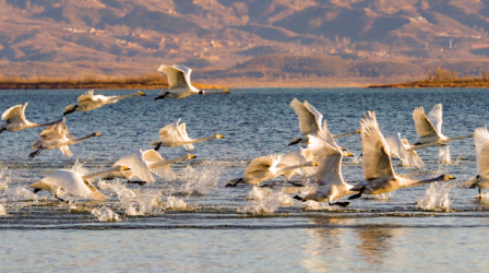 Beijing has strengthened its environmental protection in recent years, with special areas demarcated in Miyun Reservoir to protect resources and water quality of the capital. A herd of swans are flying over the reservoir. (Photo by He Yong from People's Daily)
