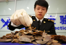 Customs in Yiwu, Zhejiang province for the first time seized smuggled ivory and pangolin products at the airport on February 21, 2017. Picture taken shows an employee weighing the smuggled pangolin scales for registration. (Photo by People's Daily)