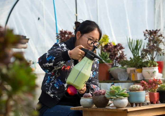 Photo taken shows Ge Xiaoxue, an undergraduate who chooses to start a business after graduation, tending her plants. After graduation, Ge, born after 1980, rent several greenhouses to grow succulent plants at her hometown, the economic and technological development zone of Hai'an County, Nantong of Jiangsu Province. Selling the plants via e-commerce platforms like Taobao and WeChat and real stores, Ge earned over 500,000 yuan ($72,000) in 2016.
