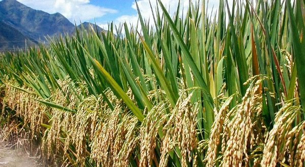 Ghana to be self-sufficient in rice production by 2022
