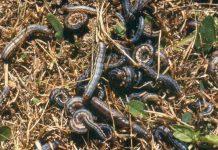 armywormsgross