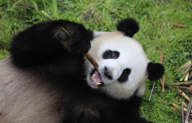 """Photo taken on May 3, 2017 shows giant panda """"Jiao Qing"""" at the Chengdu Research Base of Giant Panda Breeding in Chengdu, capital of southwest China's Sichuan Province. Giant pandas """"Meng Meng"""" and """"Jiao Qing"""" took a chartered flight on June 24 from Chengdu to settle in their new home at the Berlin Zoo in Berlin, Germany, on a 15-year research mission. """"Meng Meng"""", a female, is four years old, and """"Jiao Qing"""" is a seven-year-old male. (Xinhua)"""
