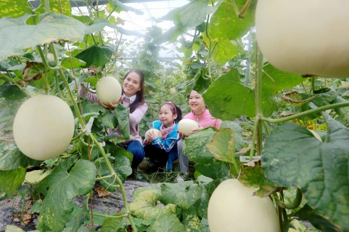 The visitors are plucking cantaloupes at an agricultural demonstration park in Xiajiang county, east China's Jiangxi Province on October 15, 2017. (Photo by People's Daily Online)
