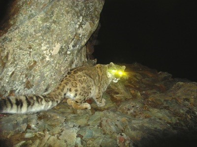 The infrared camera installed at Wolong National Nature Reserve, southwest China's Sichuan Province, captured the first photo of a snow leopard at the beginning of 2009.  (Photo by Wolong National Nature Reserve)