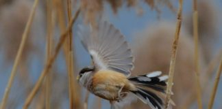 Reed parrotbills live in the reeds. (Photo: People's Daily Online)