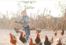 """Impoverished households in Wuyi county, north China's Hebei province, join the """"Running Chicken"""" program, a pilot project launched by JD.com to help poor rural residents earn money by selling chickens. (Photo from CFP)"""