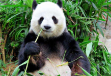 A panda is eating bamboo. (Photo from Chengdu Research Base of Giant Panda Breeding)