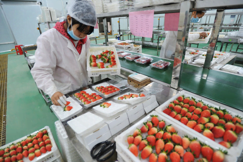 The strawberries growing in greenhouses are ripe enough to supply the market. Over 500 mu of land (33.3 hectares) in the demonstration plot in Xinjing Township, Jingxi city, south China's Guangxi Zhuang Autonomous Region was planted with the fruit. (Photo from People's Daily Online)