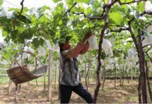 Wu Xiufeng's mother works at the vineyard. Photo by Liu Lingling from People's Daily