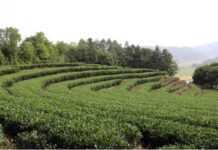 Photo shows the tea garden of Xiadang village. Photo by Liu Lingling