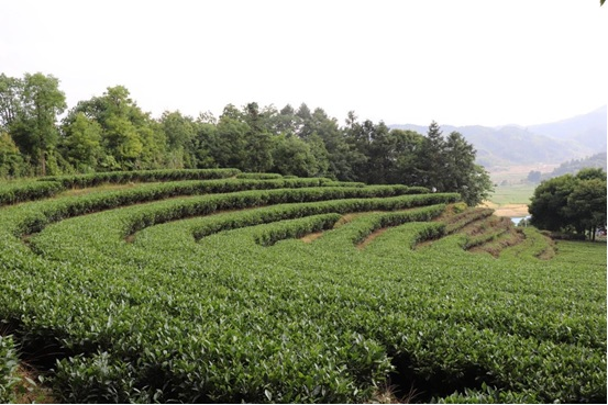 Photo shows the tea garden of Xiadang village. Photo by Liu Lingling