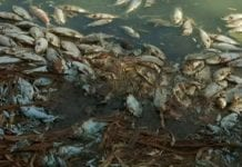 Dead fish along the Darling River bank in Menindee, New South Wales, Australia. (Australian Broadcasting Corporation via AP)
