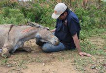 Brazil Euthanesia Credit The Donkey Sanctuary
