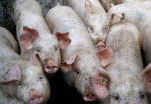 Swine Fever