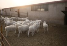 Sheep roam at the Xiyangyang farm in Keping county, Xinjiang Uyghur Autonomous Region. The farm has helped villagers get out of poverty. (Photo by Shan Jie from Global Times)